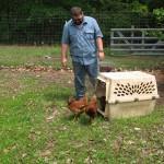 Chicken Release