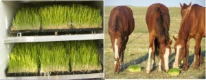 SRF-Sprouts-Horses3