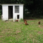 chickens at the coop