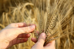 wheat-in-hands